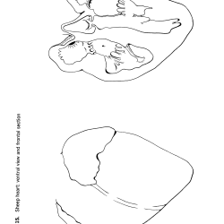Felis domesticus Figure 15