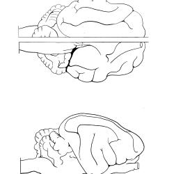 Felis domesticus Figure 19
