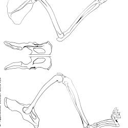 Felis domesticus Figure 5