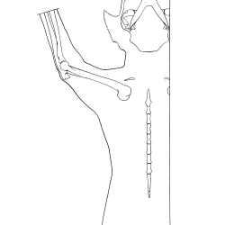 Felis domesticus Figure 6