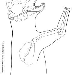 Felis domesticus Figure 8