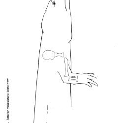 Necturus maculosus Figure 6