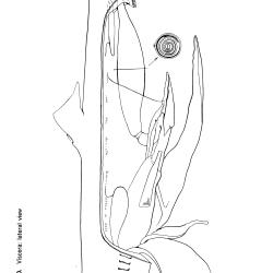 Squalus acantbias Figure 10