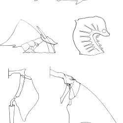 Squalus acantbias Figure 5