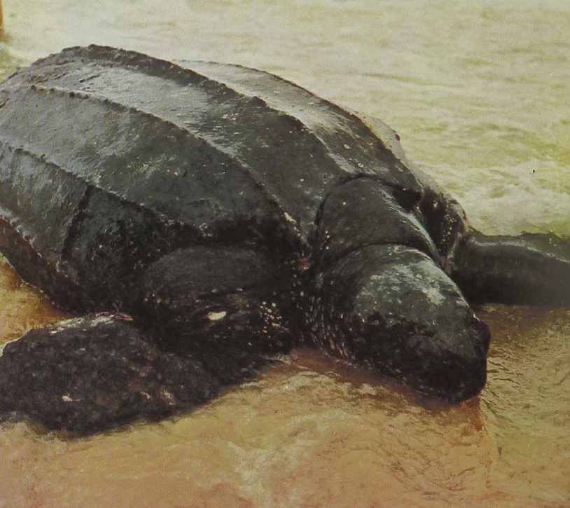 Reptiles of the world leatherback turtle or luth gans