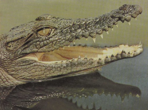 rw-045-EstuarineCrocodile