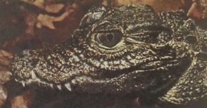 rw-046-WestAfricanDwarfCrocodile1
