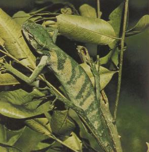 rw-062-ForestIguana