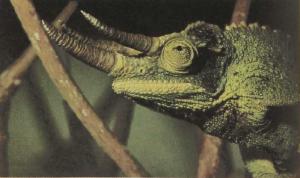 rw-074-Three-hornedChameleon2