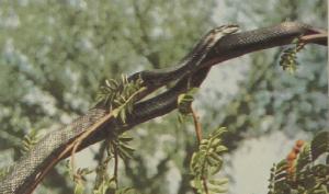 rw-112-RatSnake1