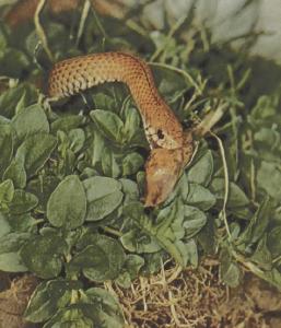 rw-116-AfricanSlug-eatingSnake