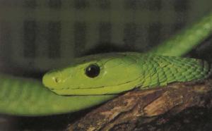 rw-133-GreenMamba